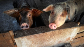 Extending ILRI's food safety and health risk focus on pigs in Vietnam