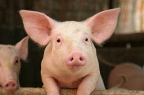 Ngành chăn nuôi Việt Nam vượt qua những khókhăn