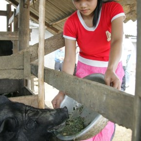 Adoption of improved pig production practices could lead to 30% increase in Vietnamese farmers' incomes