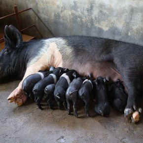 More research on African swine fever is urgently needed: No cure, no vaccine and no treatment yet exists for this lethal pigdisease