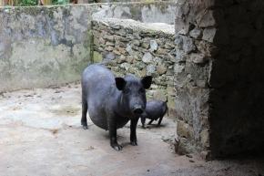 Bộ áp phích tiếng Việt của Tổ chức Thú y Thế giới về bệnh dịch tả lợn châuPhi