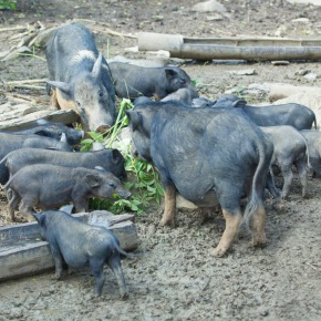 Millions of small pig farmers in Asia threatened by swine feveroutbreak